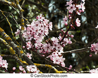 Cherry tree branch in springtime on blurred background