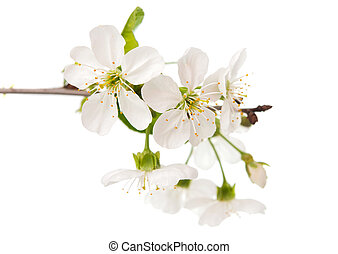 cherry tree branch with flowers