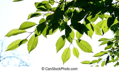 Cherry tree branch with green leaves