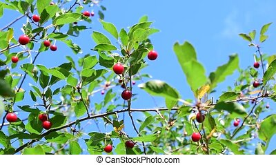 Cherry tree branch with red berries - Vibrant cherry tree...