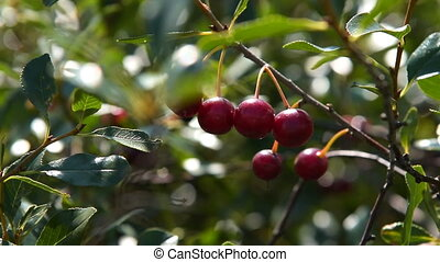 Cherry tree branch with ripe berries - Close-up shot of...