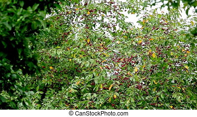 cherry tree - Cherry tree overall plan