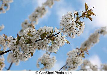 cherry-tree, flores, en, cielo, plano de fondo