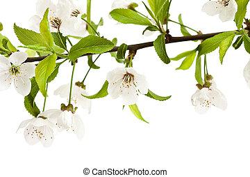 cherry-tree., flores