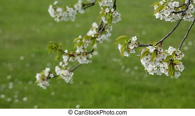 cherry tree flowers - cherry tree blanch blossom moving in...