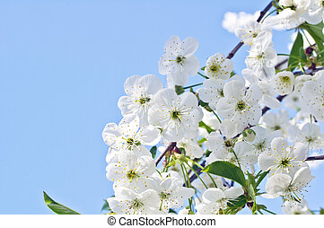 Cherry tree flowers in spring against a blue sky