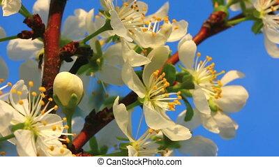 cherry tree flowers macro