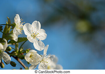 Cherry tree flowers on a beautiful spring day close up