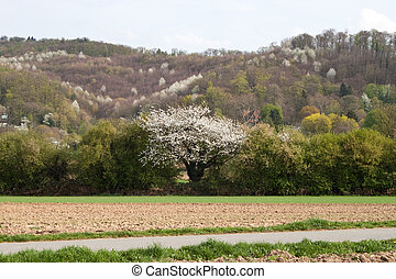 Cherry tree in a field