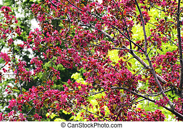 Cherry tree in bloom - Beautiful cherry tree in bloom with ...