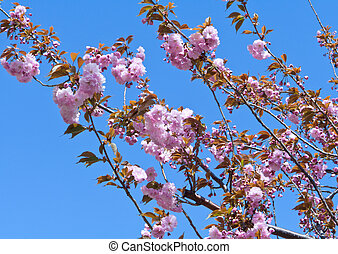 Cherry Tree in Full Blossom Pink Flowers Blue Sky