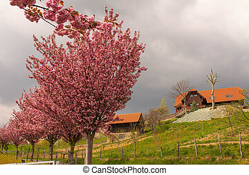 cherry tree in spring austria