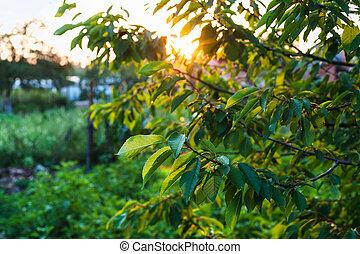 leaves illuminated by sunset light in garden