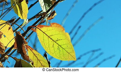 Cherry tree leaves in autumn swaying wind