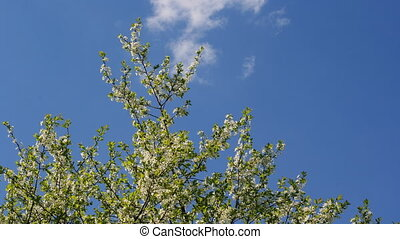 Cherry tree over the sky - A timelapse of a blooming cherry...