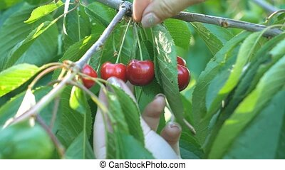 Girl's hand picking cherry from tree