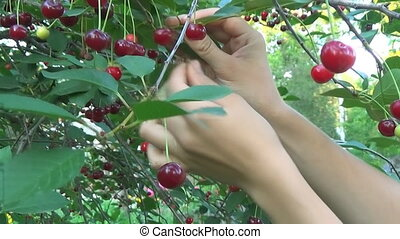 Cherry tree picking ripe cherries in the orchard in close-up, video clip