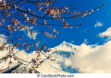 Cherry tree spring flowers with mountain peak in background, Himalayas, Nepal