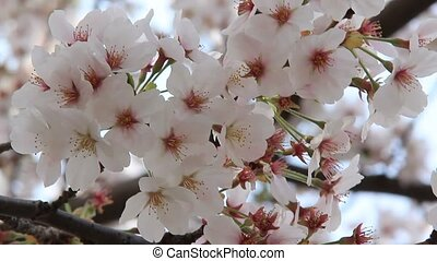 cherry tree - I took the state that cherry trees in full...