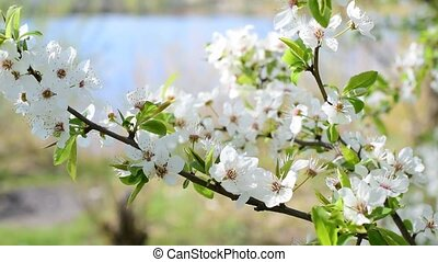 Cherry tree twig with blossom. Beautiful white cherry tree...