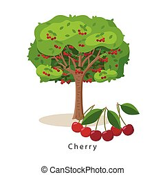 Cherry tree vector illustration in flat design isolated on white background, farming concept, tree with fruits and big ripe cherries near it, harvest infographic elements.