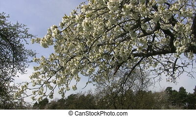 Cherry Tree - White cherry blossoms and tree