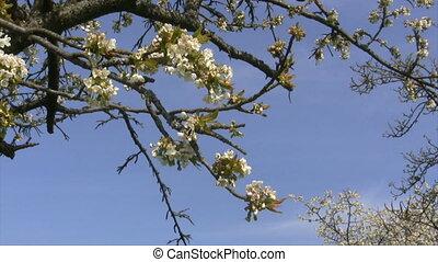 Cherry Tree - White cherry blossoms and tree