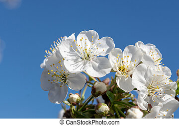 Cherry Tree With Beautiful White Flowers Blossom