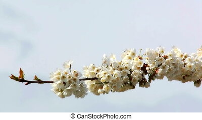 Cherry tree with flowers - One branch with spring flowers on...