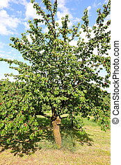 cherry tree with plenty of ripe red cherries ready for harvest