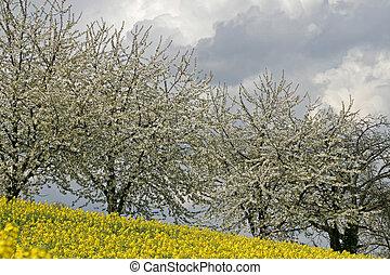 Cherry tree with rape field, Germany