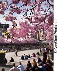 cherry-trees, ストックホルム, スウェーデン