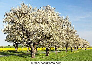 Cherry trees alley of beautiful flowering tree