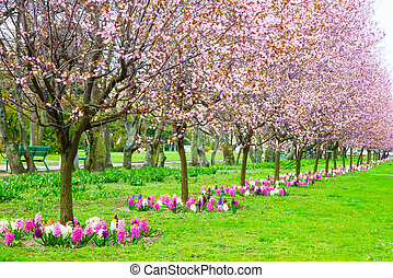 Cherry trees in a row. Garden spring blossom.