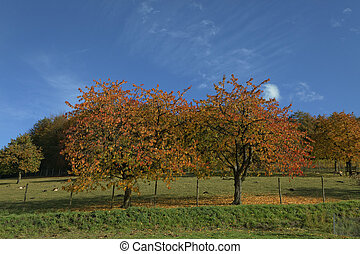 Cherry trees in autumn, Germany - Cherry trees in autumn,...