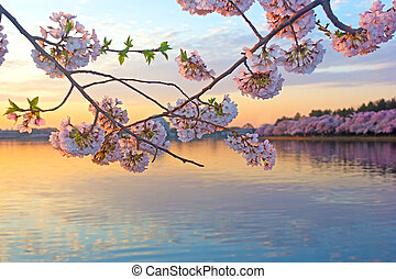Cherry trees in blossom at sunrise