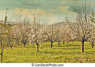 Cherry trees in spring blossom