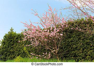 cherry trees in spring garden