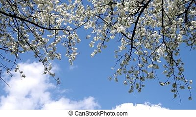 Cherry trees in spring