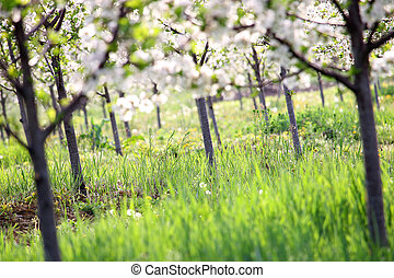cherry trees orchard spring season agriculture