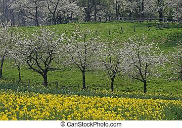 Cherry trees with rape field, Germany