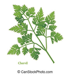 Chervil Herb - Chervil, delicate, lacy leaves with light...
