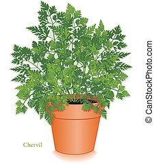 Chervil Herb in Clay Flowerpot