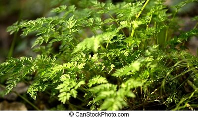 Chervil in a German forest, spring spice for soups