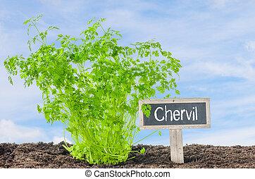 chervil, jardim, com, um, madeira, etiqueta
