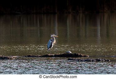 Chesapeake Bay Great Blue Heron - Great Blue Heron and a...
