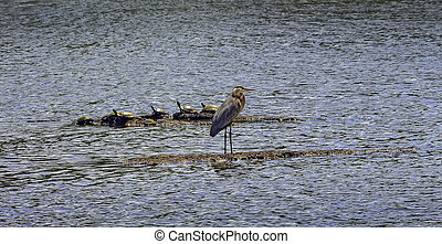 Chesapeake Bay Great Blue Heron with turtles