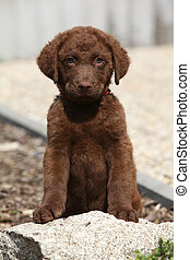 Chesapeake Bay Retriever puppy sitting and looking at you