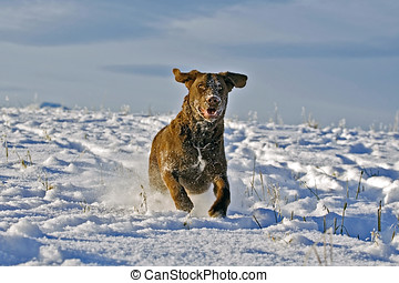 Chesapeake Bay Retriever  running in a field in fresh snow