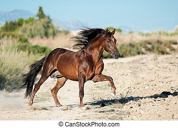 chestnut andalusian horse runs free in preries